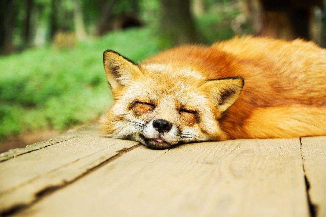 Schlafender Fuchs